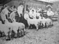 sheep-show-bw-good_w